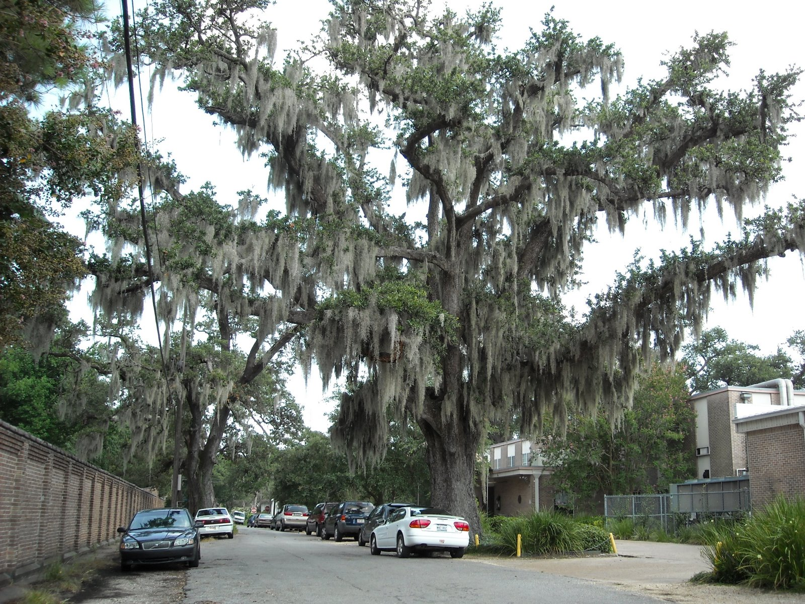 Oak with Spanish Moss 01
