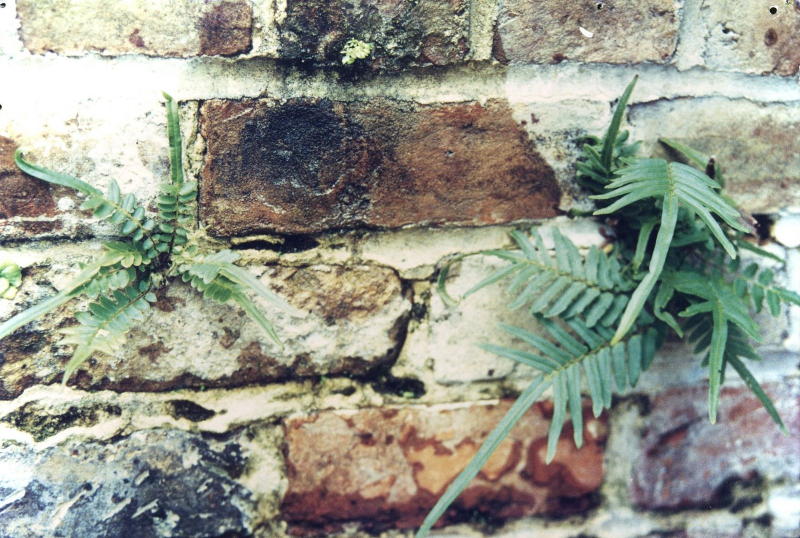 Resurrection Ferns