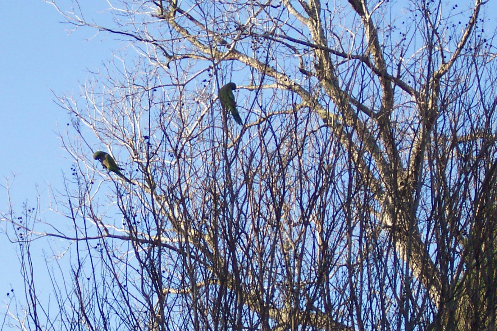 Uptown Parrots