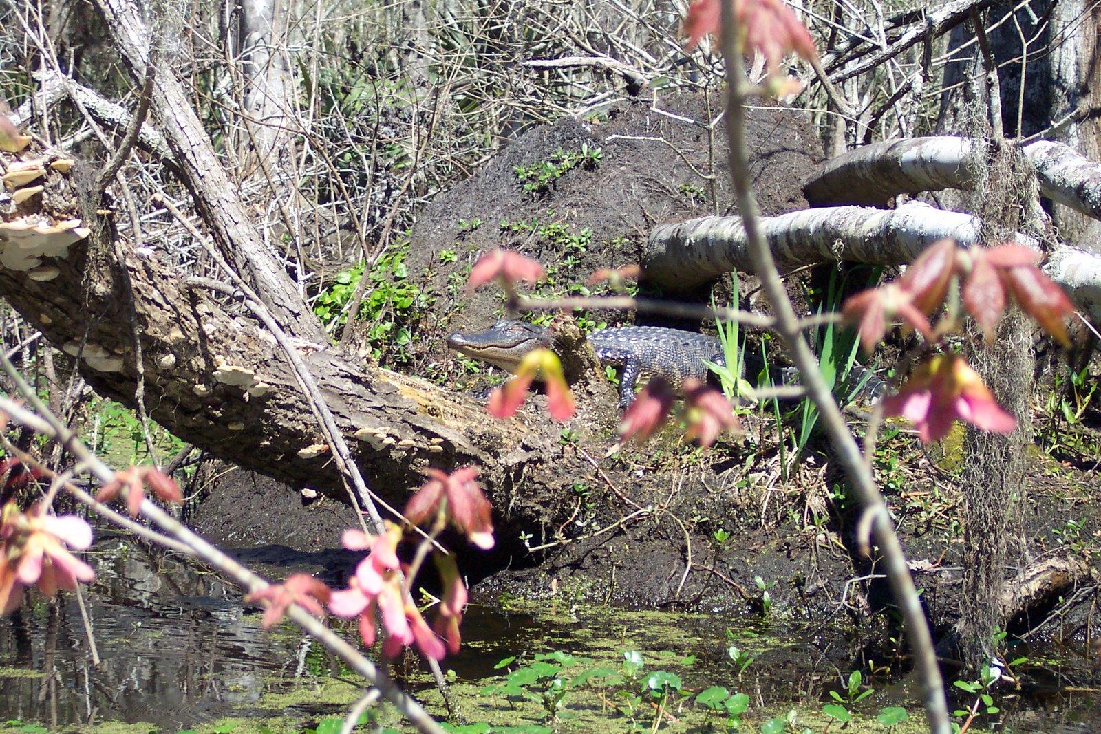 Barataria Alligator