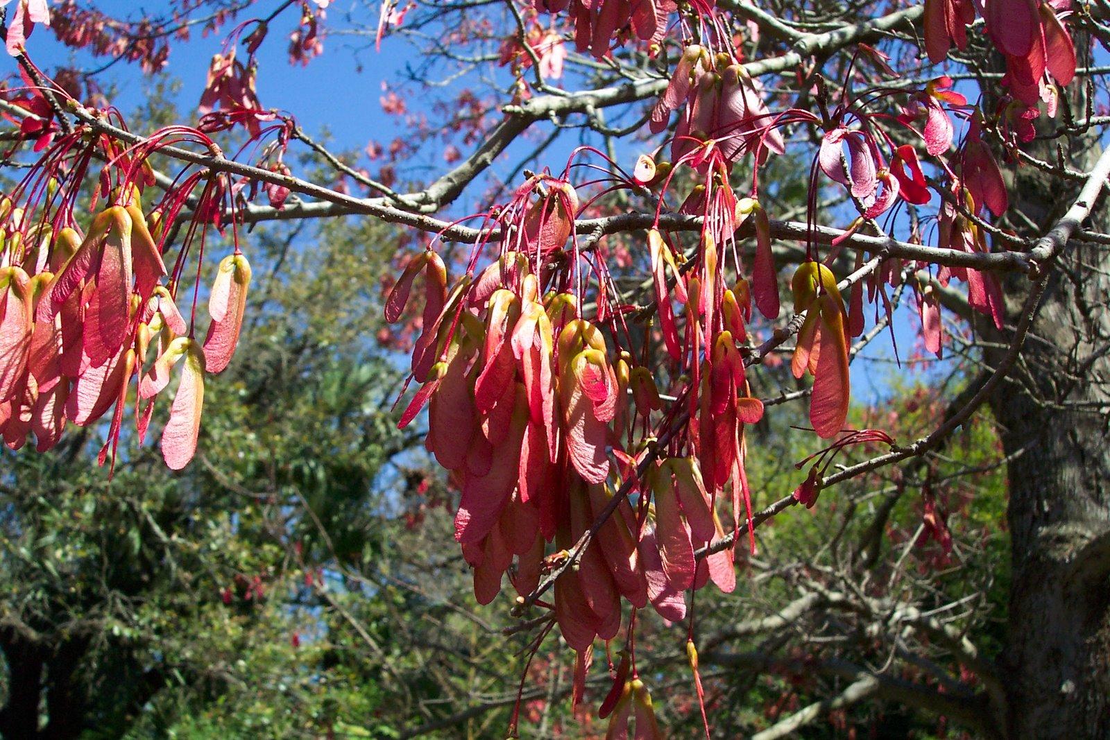 Swamp Maple Seeds