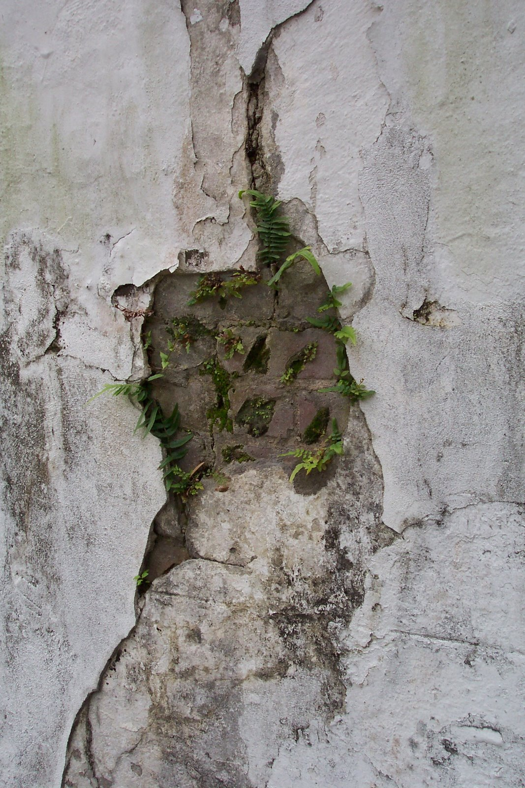Resurrection Ferns 02